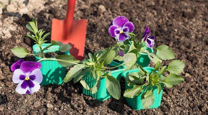 Когда и как сажать анютины глазки на рассаду и в открытый грунт в 2021 году
