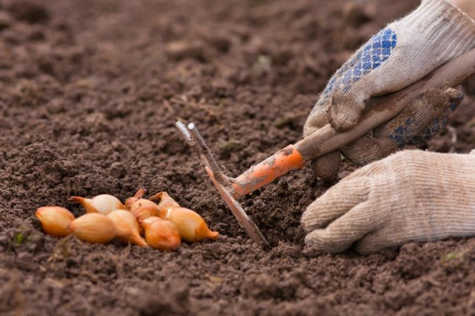 Благоприятные дни для посадки лука в зиму в 2021 году