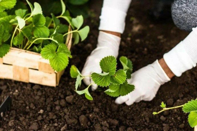 Когда и как сажать клубнику осенью в 2021 году