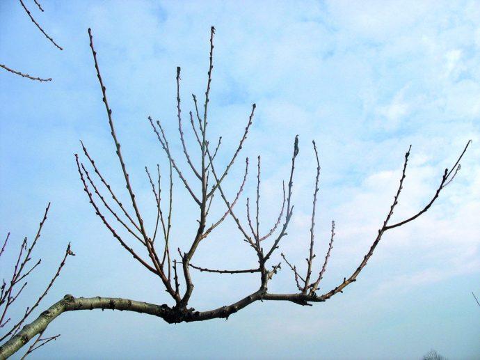 Как формировать кроны деревьев персика