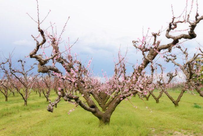 Схемы и сроки обрезки персика весной для начинающих