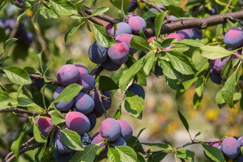 Когда и как пошагово посадить сливы осенью на Урале
