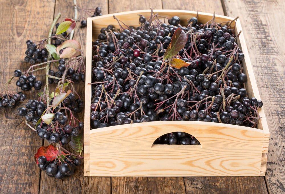 Как правильно ухаживать за черноплодной рябиной осенью, чтобы был хороший урожай