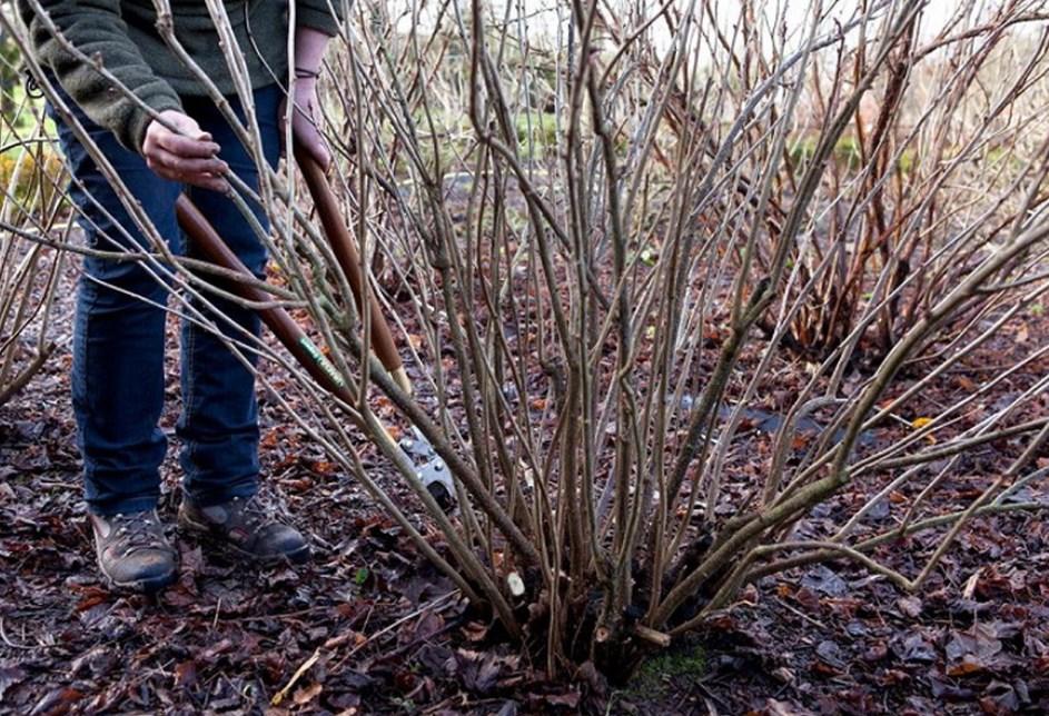 Пошаговые действия во время обрезки черноплодной рябины осенью