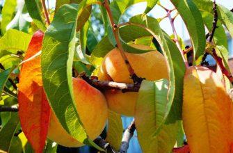 Осенний персик