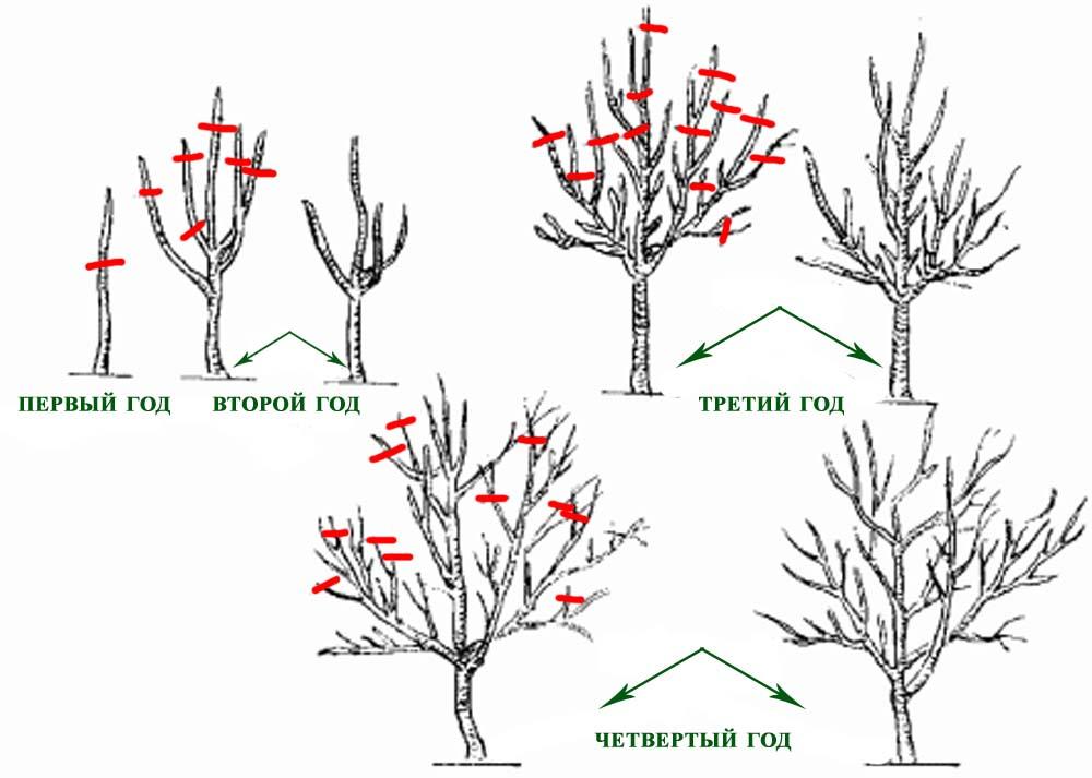 Схемы обрезки сливы осенью с пошаговыми действиями и сроками обрезки