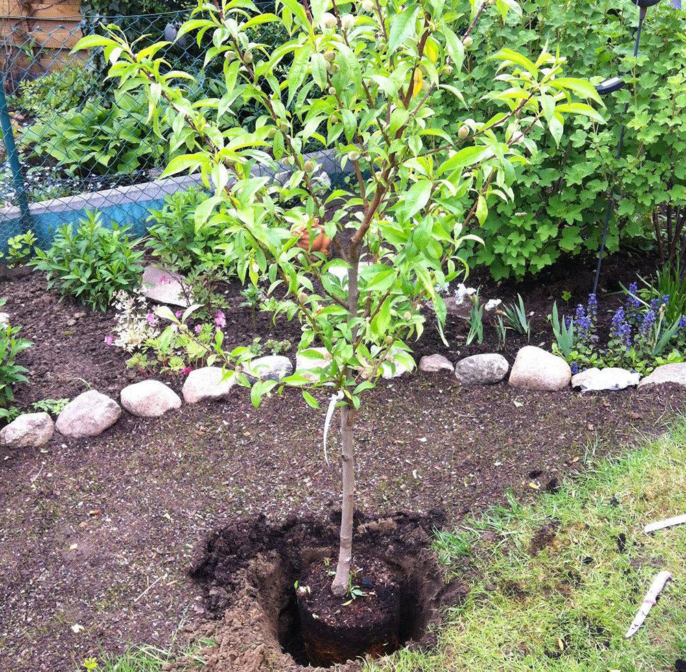 Оптимальные сроки посадки и пересадки персика осенью и как это делать пошагово