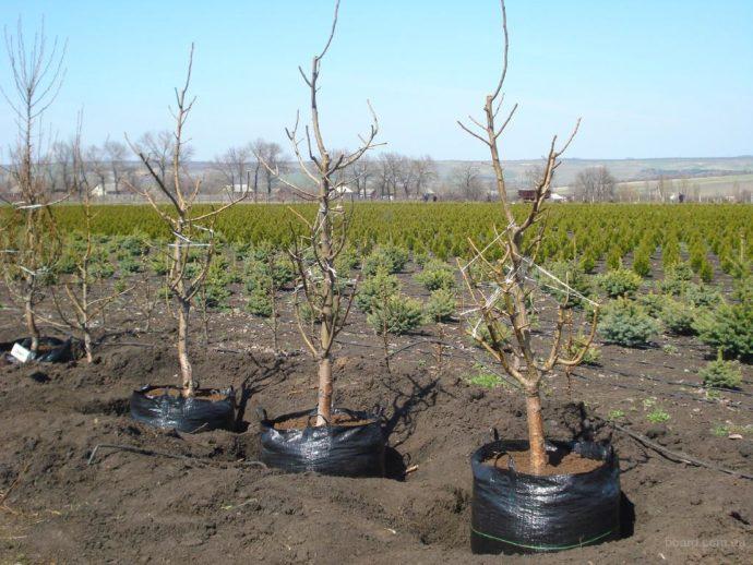 Как ухаживать за персиком осенью и подготовить правильно к зиме
