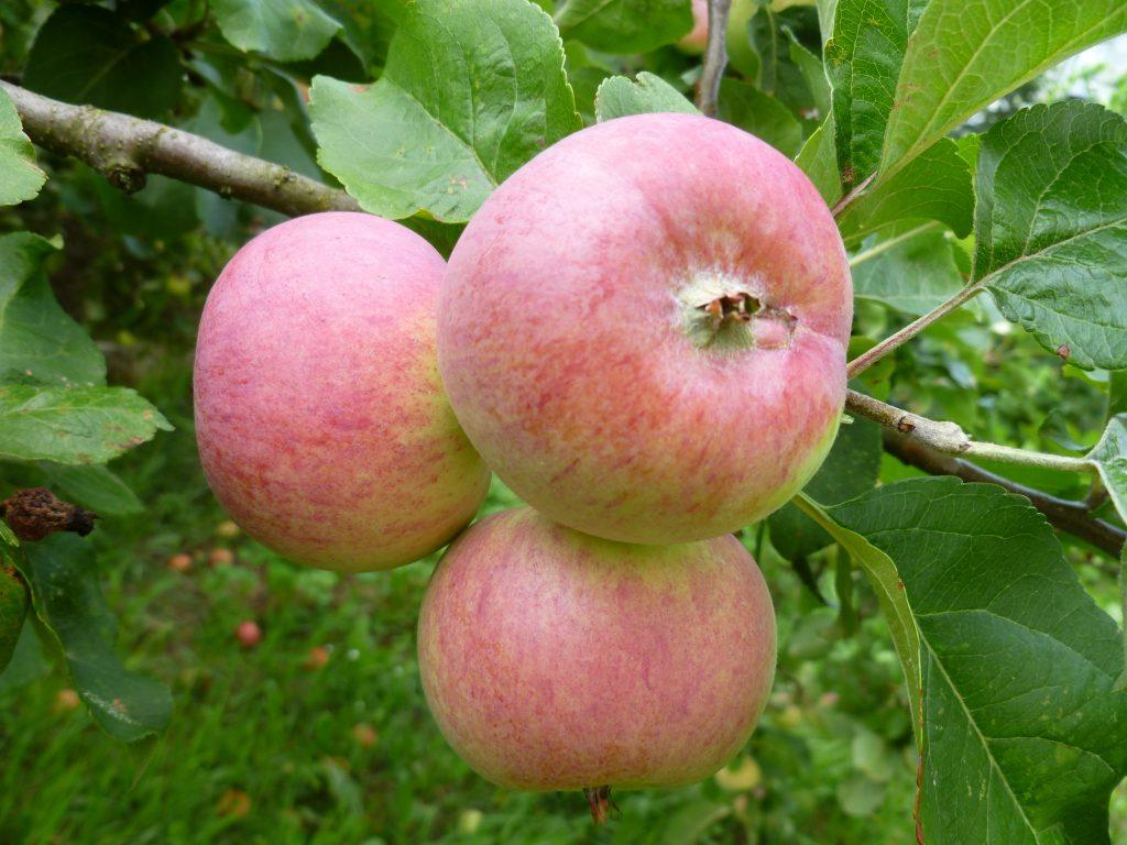 Благоприятные дни для посадки яблони в Подмосковье
