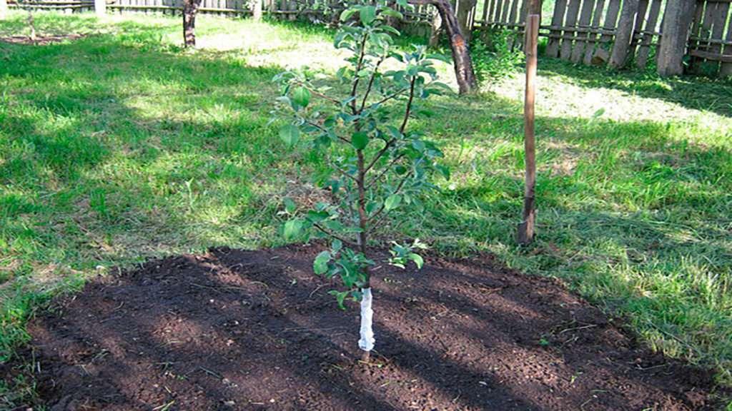 Благоприятные дни для пересадки яблони на новое место осенью