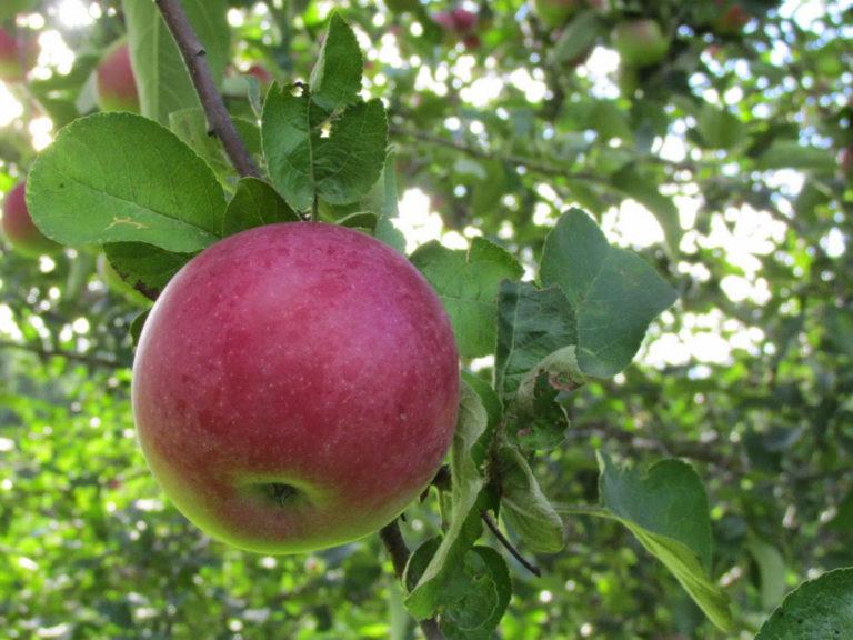 яблоня сорта Здоровья