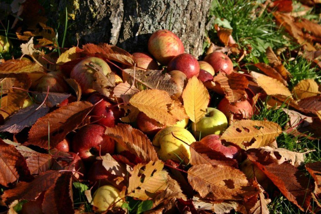 Чем и когда обработать яблони осенью от парши