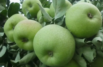 Когда срывать яблоки для хранения