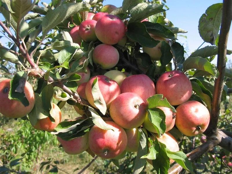 Когда срывать яблоки для хранения на зиму