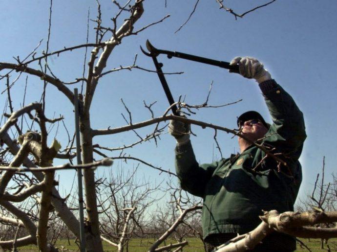 Кронирование яблони