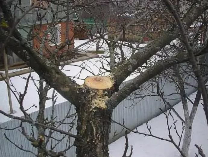 обрезка верхушки у старой яблони
