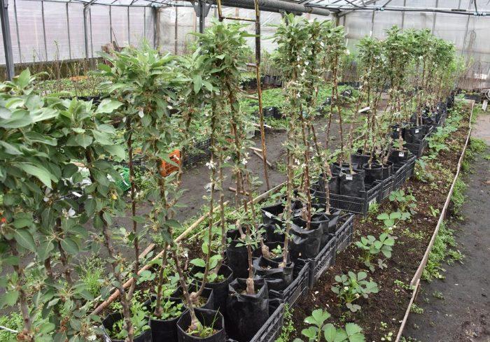Особенности посадки колоновидных сортов яблонь осенью