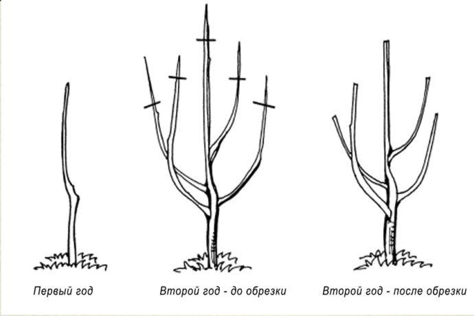 Схема обрезки саженца яблони