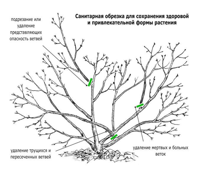 Схема санитарной обрезки деревьев