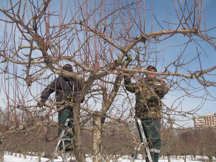 Сильная обрезка дерева