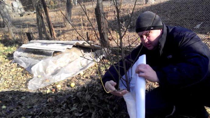 Укрыть саженцы на зиму