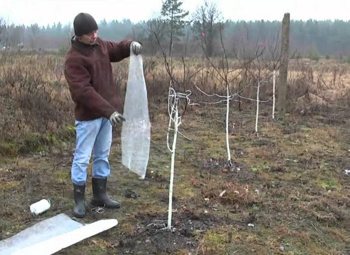 Укрытие саженцев плодовых деревьев