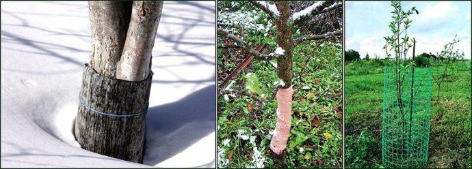 Защита стволов плодовых деревьев