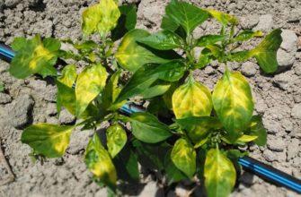 желтые листья у перца